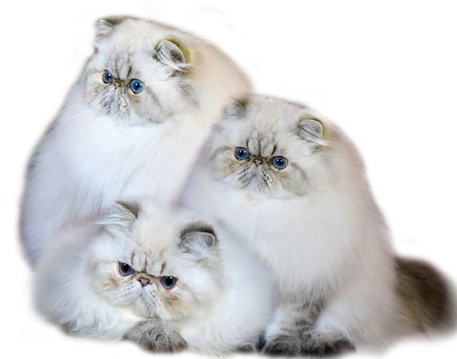 Benomade Persian Cats Cattery
